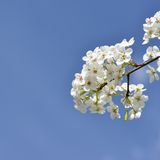 Blossoming pear tree branch. One isolated blossoming pear tree branch with white flowers on the blue sky background, closeup, square format Stock Images