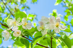 Blossoming pear-tree branches in the sun. Against a blue sky Stock Images