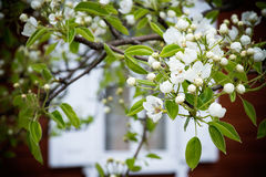 Blossoming pear tree Stock Photography