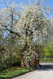Blossoming pear tree with small cottage stock photos