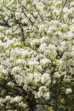 Blossoming pear tree in spring. White flowers Stock Photo