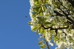 Flowering pear tree and bee. A blossoming pear tree in the summer and a bee that has successfully entered the frame, collecting nectar from blossoming flowers Stock Photography