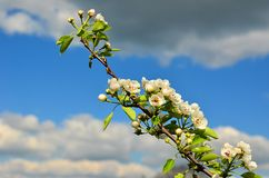 Blossoming pear tree. Twig on the background of clouds Royalty Free Stock Photography