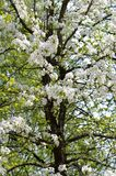 Blossoming pear tree. With white flowers and black trunk, vertical format Stock Images