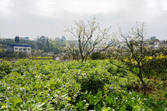 Blossoming pear trees and flowering horsebeans before village in Stock Photo