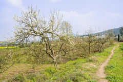 Blossoming pear trees by grassy footpath at sunny spring noon Stock Photo
