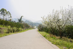 Blossoming pear trees by slopy countryroad in sunny spring Stock Photos