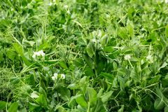 Blossoming peas on the field royalty free stock image