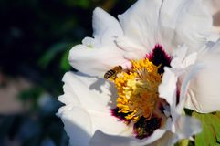 Blossoming peony and bee Royalty Free Stock Image