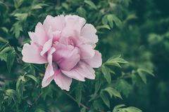 Blossoming peony flowers in the garden, natural seasonal floral background royalty free stock photo