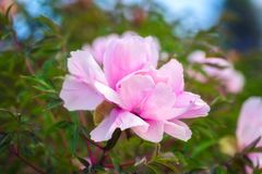 Blossoming peony flowers in the garden, natural seasonal floral background stock photos
