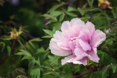 Blossoming peony flowers in the garden, natural seasonal floral background stock photo