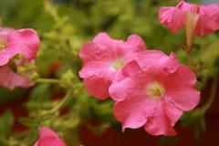 Blossoming Petunia Royalty Free Stock Photos
