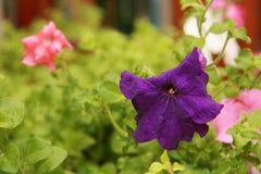 Blossoming Petunia Stock Photo