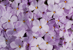 blossoming phlox Стоковая Фотография RF