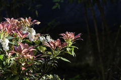Blossoming pieris japonica. With red and green leaves royalty free stock photography