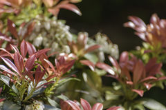 Blossoming pieris japonica. With red and green leaves stock images