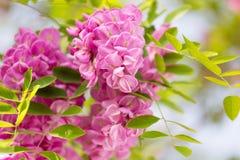 Blossoming pink acacia Stock Photos