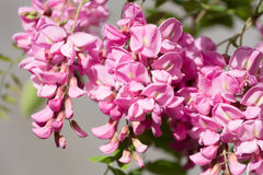 Blossoming pink acacia Royalty Free Stock Photo