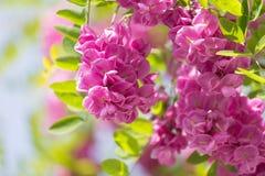 Blossoming pink acacia Royalty Free Stock Images
