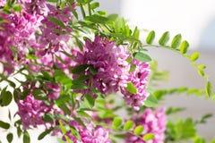 Blossoming pink acacia Stock Images