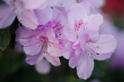 Blossoming pink azalea close up in garden Stock Images