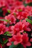 Blossoming pink azalea close up in garden Stock Photos