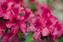 Blossoming pink azalea close up in garden Royalty Free Stock Images
