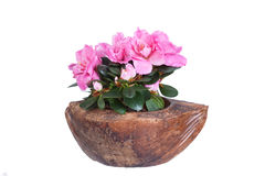 Blossoming pink azalea Royalty Free Stock Images