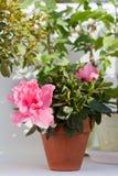Blossoming pink azalea Royalty Free Stock Photos