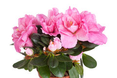 Blossoming pink azalea Stock Photo