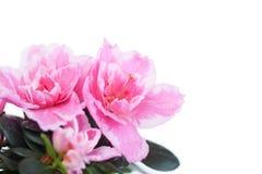 Blossoming pink azalea Royalty Free Stock Photography