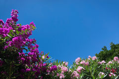 Blossoming pink bougainvillea Stock Image
