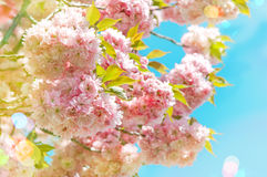 Blossoming of pink cherry blooms over blue sky. Spring flowers Stock Image