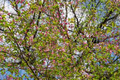 Blossoming pink cherry in the garden in spring, bottom view Royalty Free Stock Photo