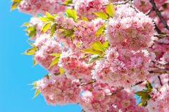 Blossoming of pink cherry over blue sky. Sakura tree. Spring flo Stock Images