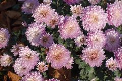 Blossoming pink Chrysanthemums in late autumn. Blossoming light pink Chrysanthemums in late autumn stock photos