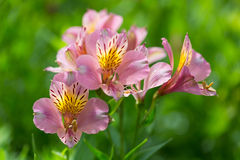 Blossoming pink day lily Stock Images