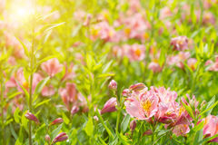 Blossoming pink day lily lit Stock Image