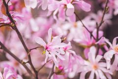 Blossoming pink flower background, natural wallpaper. Flowering rare magnolia stellata branch in spring garden. Macro image with copyspace and beautiful bokeh stock images