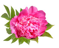 Blossoming pink flower of a peony Stock Photo