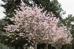 Blossoming pink flower tree in the park on the evergreen background during afternoon. stock photo