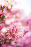 Blossoming pink flowers. Closeup of beautiful pink flowers in blossom Royalty Free Stock Photos