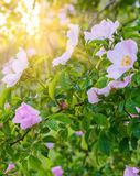 Blossoming pink flowers of wild rose bush in sunlight, natural floral sunny background stock image