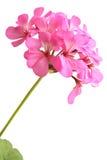 Blossoming pink geranium Stock Images