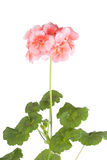 Blossoming pink geranium. On a white background stock photography