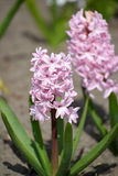 The blossoming pink hyacinths east Hyacinthus orientalis L., close up Royalty Free Stock Images