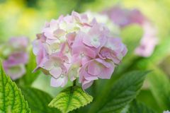 Blossoming pink hydrangea Stock Photography