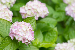 Blossoming pink hydrangea Stock Photos
