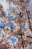 Blossoming pink japan cherry Royalty Free Stock Photos